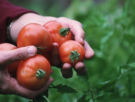 hs15-GardenTomatoes-0814n.jpg
