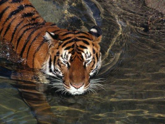 NG 125 BIG CAT TIGER 2.jpg