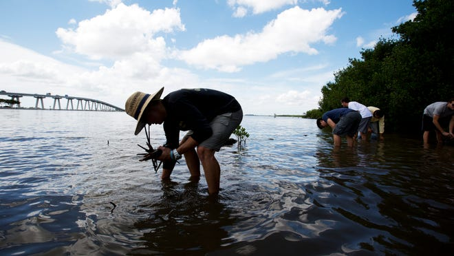 Cory Moore plants red mangrove propagules near the Punta Rassa boat ramp. All told, 33 Florida SouthWestern State College students took part in the project to bolster the ecosystem, planting 3,000 to 4,000 propagules.