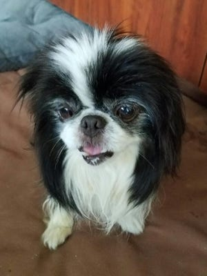 Chappie is a 9-year-old Japanese Chin who came to the Cumberland Valley Animal Shelter as a stray.
