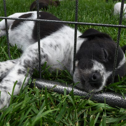 A pooped-out puppy grabs some sleep on the lawn Aug.