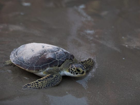 A green sea turtle with the ashes of oceanographer