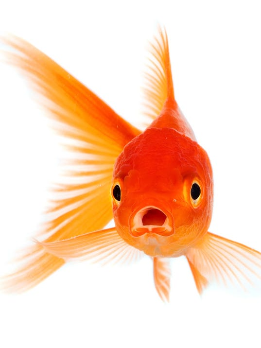 Owner Pays Hundreds Of dollars On Surgery For Pet Goldfish