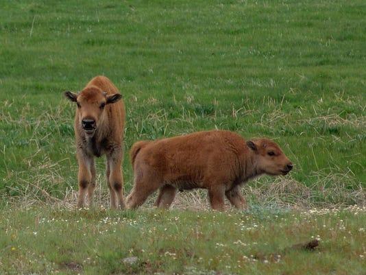 -bison babies.jpg_20150609.jpg