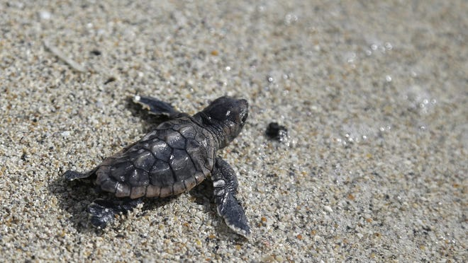 A loggerhead sea turtle hatchling makes its way into the ocean along Haulover Beach in Miami.