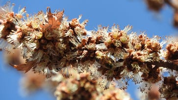 Stone: Even the mighty silver maples need bees