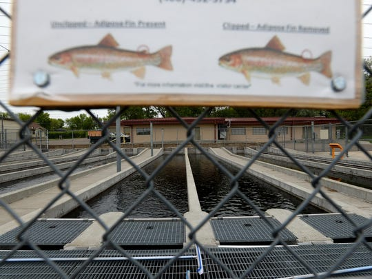 The Fish Wildlife and Parks Fish Hatchery at Giant Springs State will destroy more than 500,000 of its trout in the hatchery's outside raceways after they were possibly contaminated by Missouri River water May 12, when the river's level raised due to an accidental shutdown at Rainbow Dam.