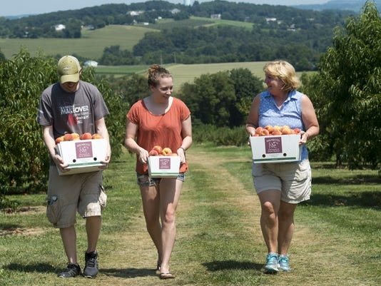 From the left, Jake Derrick, Sarah Clark and Lori Clark return to their car with picked peaches at Brown s Orchards & Farm Market Pick-Your-Own in Springfield Township Sunday August 16, 2015