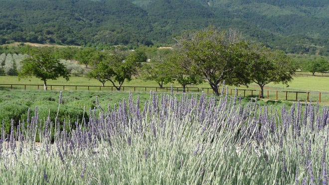 Several lavender farms offer u-pick opportunities in Ojai.