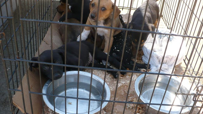 Puppies, on sale at the Visalia swap meet, are kept in a cage Thursday.