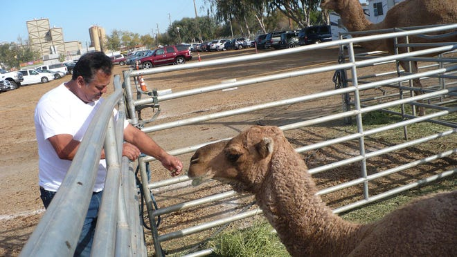 Alex Ramos offers alfalfa to Abdula, a female camel part of the Ramos Bos. Circus, which will have a five-day run at the Tulare County Fairgrounds.