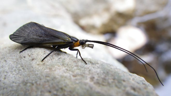 A sycamore caddisfly on the bank of a stream in Arizona. This species can fly, but not far. Researchers have found that these insects have disappeared from streams that dried up completely during years of severe drought. At top: Researcher Michael Bogan takes notes on his observations while studying a drying stream pool in the Sonoran Desert in northern Mexico in March 2011.
