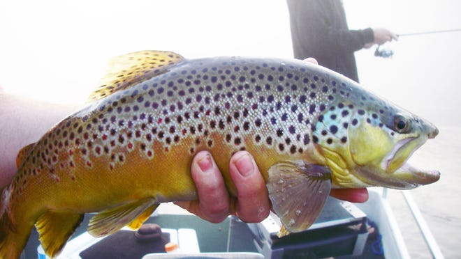 A beautiful brown trout landed during the Feb. 28 tourney wasn't big enough to win the $1,200 jackpot.