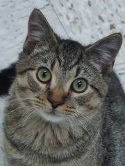 Buzz Bee is a 6-month-old young tabby-and-white boy.