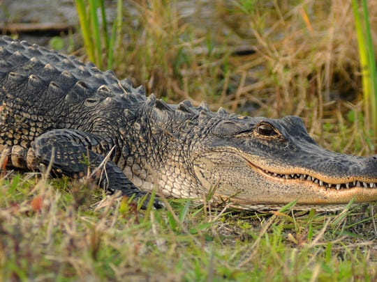 TIM SHORTT/FLORIDA TODAY  Cracking a smile? An alligator