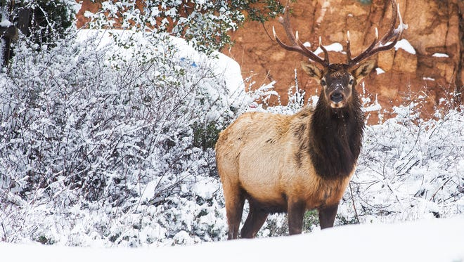 An elk takes a break from foraging in a neighborhood in Payson, Monday, December 14, 2015.  Rain in the Valley and snow in the high country dominated the weather in Arizona, ten days before Christmas Eve.