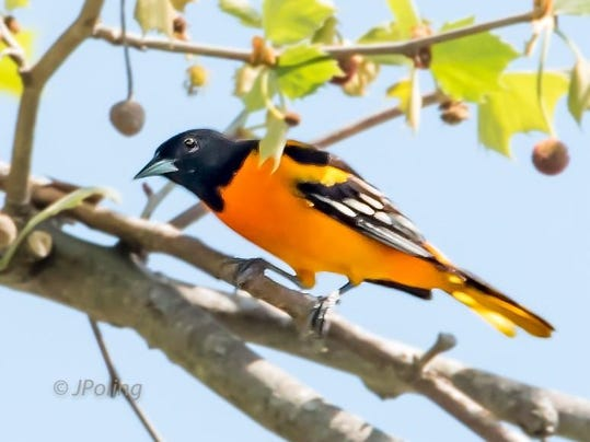 Baltimore Oriole--Male