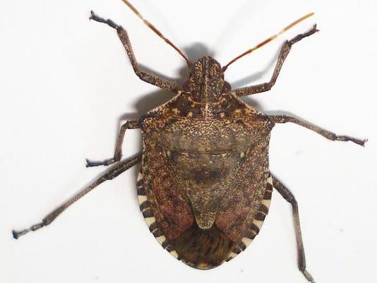 636422317473789358-10-01-2017-Brown-Marmorated-Stink-Bug.jpg