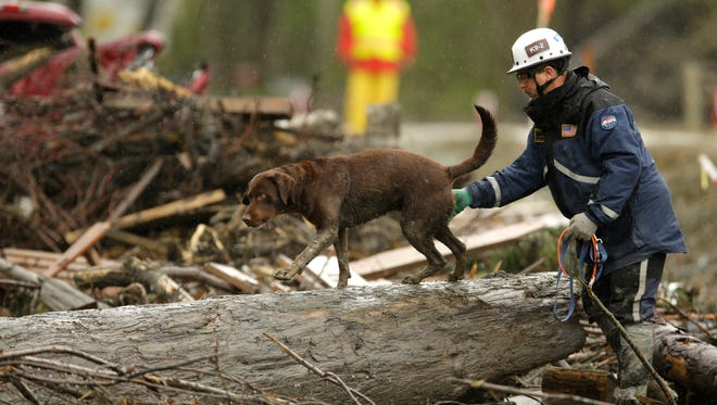 In this Wednesday, April 16, 2014 file photo, a search dog walks on a tree as rescuers searched for the  remaining missing victims of the massive deadly mudslide that hit the community of Oso, Wash.  Authorities ended the active search Monday more than five weeks after the mudslide.