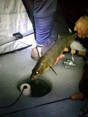 An angler releases a walleye that was caught on a Buck-Shot