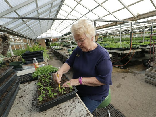Sherry Reynebeau of Appleton plants salvia flowers