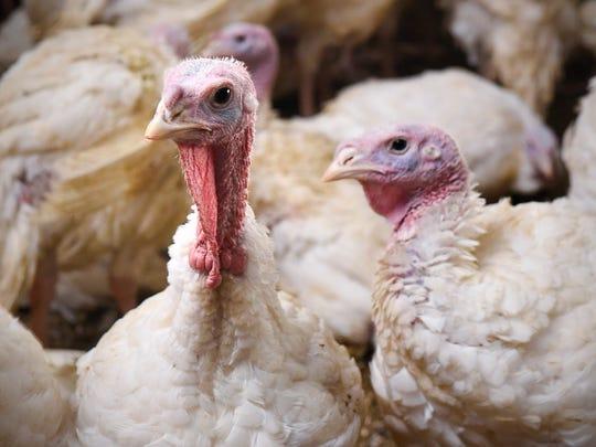 A few of a flock of turkeys shown here in a barn Wednesday, Nov. 15 2017, in Melrose.
