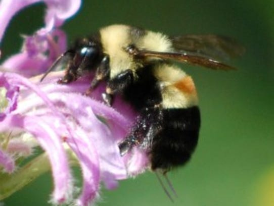 A rusty-patched bumblebee.