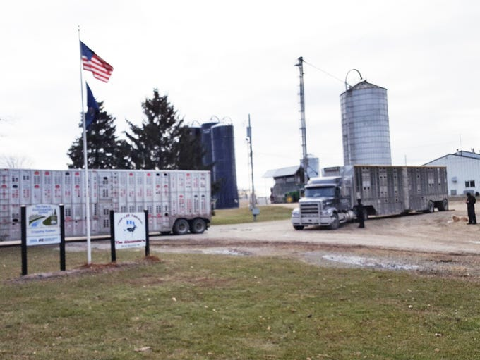 Two cattle trailers filled with the Alexander family's