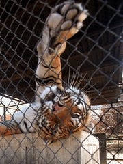 A tiger relaxes at the Animal Ark wildlife sanctuary in Reno. A conditional use permit request for a similar facility in Lyon County was unanimously voted down by the county planning commission.
