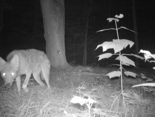 A coyote roams a small forested area in Dutchess County