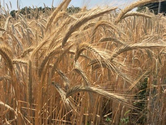 Standing-wheat-kottke-July-2018.jpg