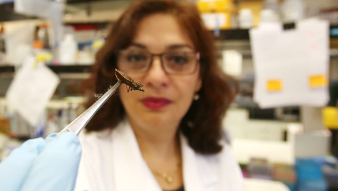 Rosa Maldonado, Ph.D., holds a kissing bug with a pair of tweezers in her lab.