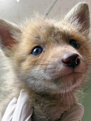 Baby red fox gets care at St. Francis Wildlife.