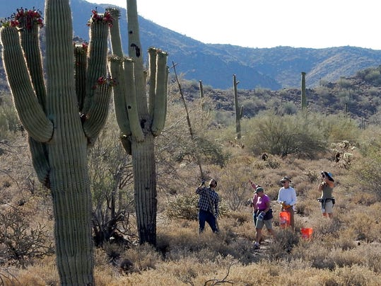 saguaro cactus fruit harvest