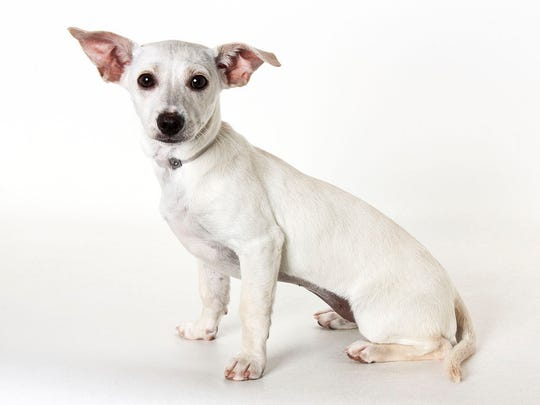 Josephine, 5-month-old female Chihuahua mix puppy. No. 97232.