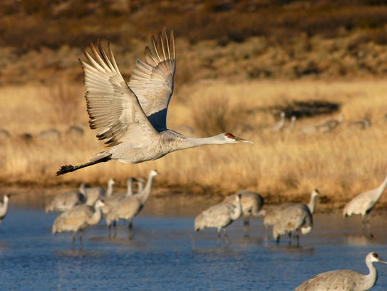 A Sandhill Crane soars above the water at the Bosque