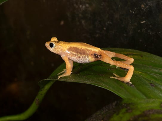 An adult male Kihansi Spray Toad (Nectophrynoides asperginis)