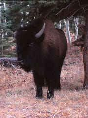 A bison in the Kaibab National Forest of Northern Arizona.