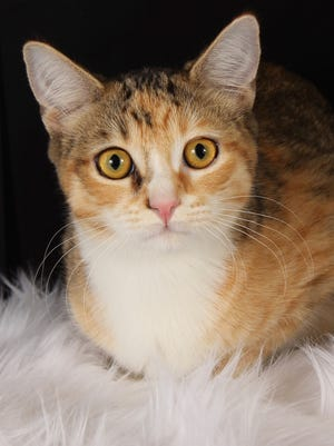 Ziti is available at Friends for Life's adoption center located at 952 W. Melody Avenue, Gilbert. contact Friends for Life at 480-497-8296, e-mail FFLcats@azfriends.org for more information.