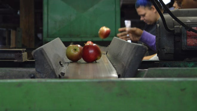 Workers toss apples onto conveyor belts within the T.S. Smith & Sons apple packing house.