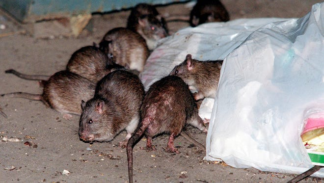 Rats swarm around a bag of garbage near a dumpster at the Baruch Houses in New York.