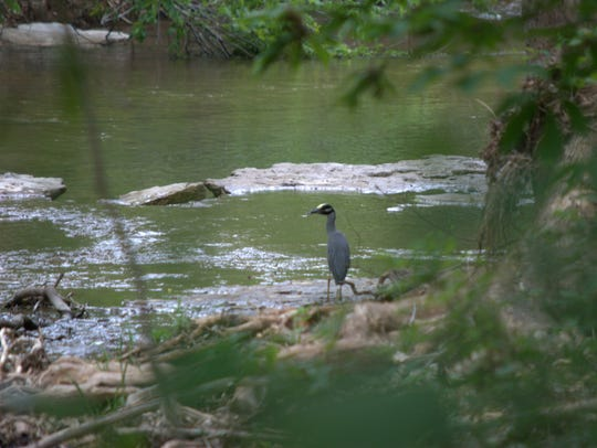 A yellow crowned night heron pauses beside one of the
