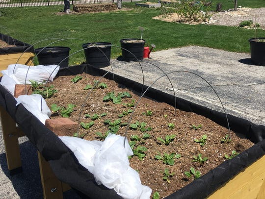 Veggie trugs at Minnetrista are planted with kale and