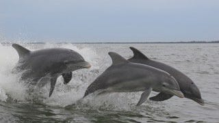 Dolphins enjoying their freedom frolicking in the Indian River Lagoon.