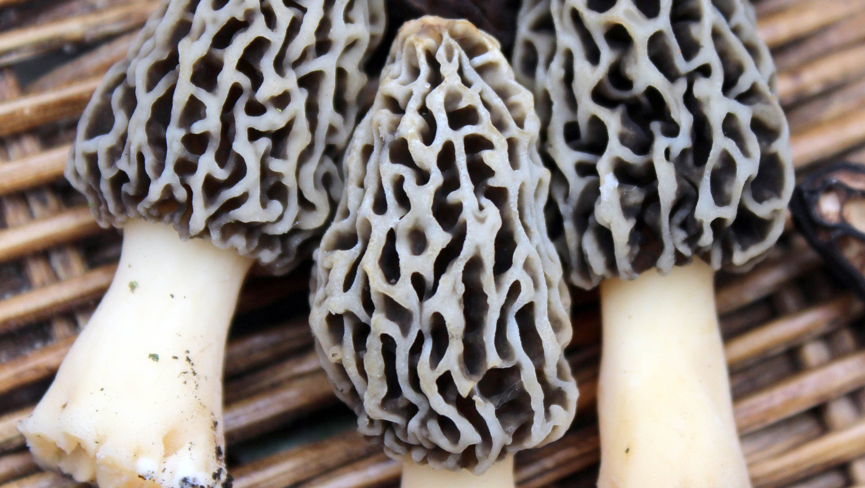 morel mushroom hunting  become an expert in 1 day