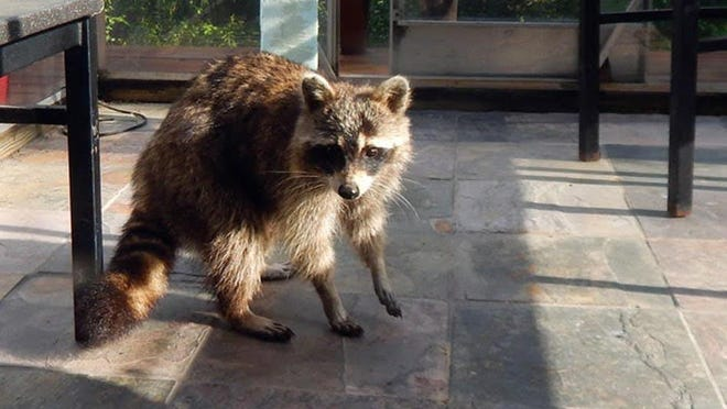 """A young raccoon near Lomax, Illinois, was helping himself to a kitty-cat's breakfast June 4 when the human came around the corner. """"Rocky"""" nearly knocked poor Shotsy the cat down as he scambled out the door as she was coming in. Shotsy was miffed but otherwise unharmed."""