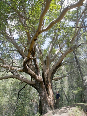 A huge manzanita tree on the Sterling Ditch Mine Trail system. The trail is being considered for elevation to State Designated Scenic Trail status.