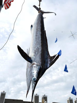A 77-pound white marlin is hauled in during a previous White Marlin Open.