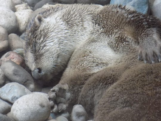 An otter naps at the Detroit Zoo on a recent Sunday.
