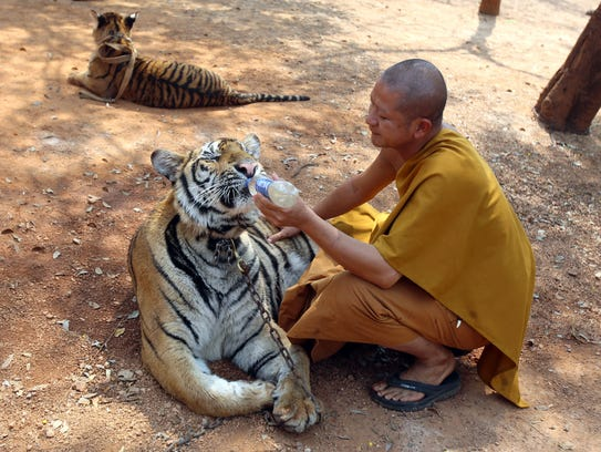 A Thai Buddhist monk feeds water to a tiger at the